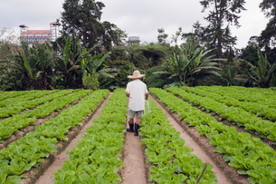 Gardener in a cabbage patch, Cameron Highlands, Perak state, Malaysia, Southeast Asiaの写真素材 [FYI03767632]