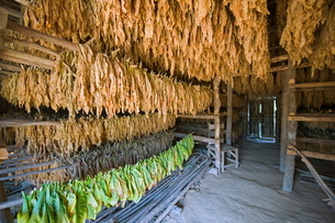 Tobacco leaves hung up to dry, Vinales Valley, Cuba, Caribbeanの写真素材 [FYI03767717]