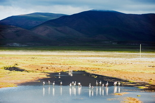 James flamingos (Phoenicoparrus jamesi), Boliviaの写真素材 [FYI03767831]
