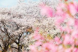 Spring cherry blossom festival, Jinhei, South Koreaの写真素材 [FYI03767940]