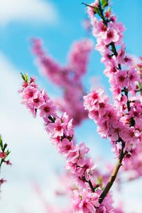 Spring cherry blossom festival, Jinhei, South Koreaの写真素材 [FYI03767942]