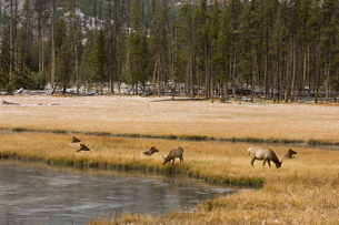Elk, Firehole River, Yellowstone National Parkの写真素材 [FYI03768301]
