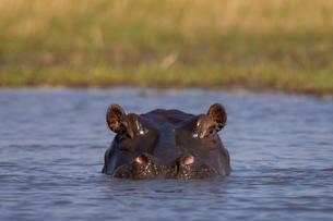 Hippopotamus (Hippopotamus amphibius), Busanga Plains, Kafue National Park, Zambiaの写真素材 [FYI03768347]