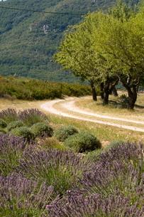Lavender field, La Palud sur Verdon, Gorges du Verdonの写真素材 [FYI03768381]