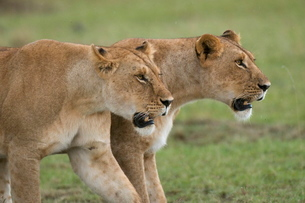 Lionesses (Panthera leo), Masai Mara National Reserveの写真素材 [FYI03768411]