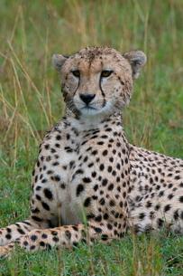 Cheetah (Acinonyx jubatus), Masai Mara National Reserveの写真素材 [FYI03768420]
