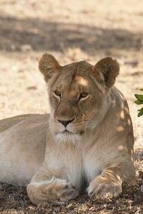 Lion (Panthera leo), Masai Maraの写真素材 [FYI03768498]