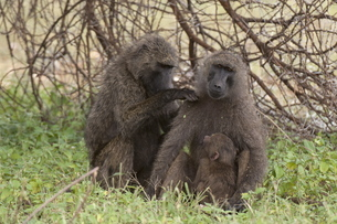 Olive baboon (Papio anubis), Samburu National Parkの写真素材 [FYI03768511]