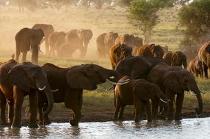 Elephants (Loxodonta africana), Lualenyi Game Reserveの写真素材 [FYI03768577]