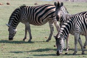 Common zebras (Equus quagga), Chobe National Parkの写真素材 [FYI03768593]