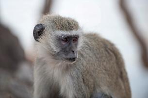 Vervet monkey (Cercopithecus aethiops), Chobe National Parkの写真素材 [FYI03768594]