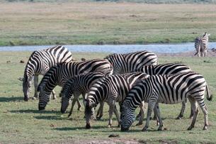 Common zebras (Equus quagga), Chobe National Parkの写真素材 [FYI03768597]