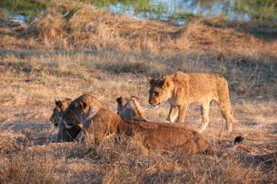 Lions (Panthera leo), Okavango deltaの写真素材 [FYI03768623]