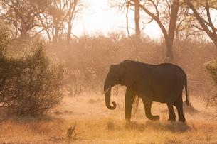 African elephant (Loxodonta africana), Okavango deltaの写真素材 [FYI03768636]