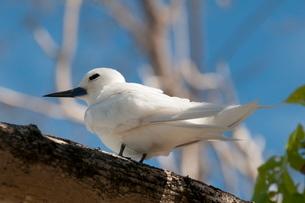 Common white-tern (Gygis alba), Denis Island, Seychellesn Oceanの写真素材 [FYI03768698]
