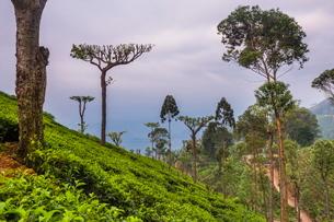 Tea plantation on a tea estate in Haputale, Nuwara Eliya District, Sri Lanka Hill Country, Sri Lankaの写真素材 [FYI03769214]