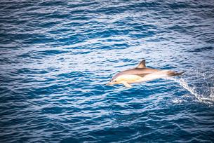 Dolphins seen near Whakatane and Tauranga in the Bay of Plenty, North Island, New Zealandの写真素材 [FYI03769520]