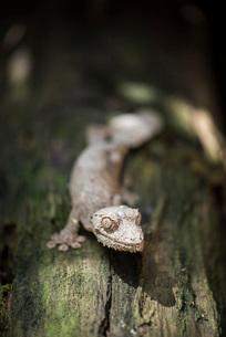 Leaf-tailed gecko (Baweng Satanic leaf gecko) (Uroplatus phantasticus), endemic to Madagascarの写真素材 [FYI03769545]