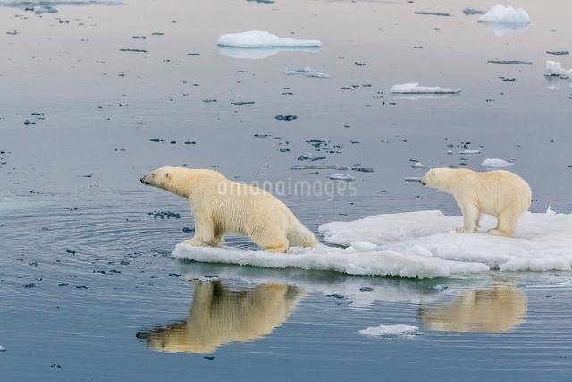 Mother polar bear with second year cub (Ursus maritimus) on ice in Olgastretet off Barentsoya, Svalbの写真素材 [FYI03769639]