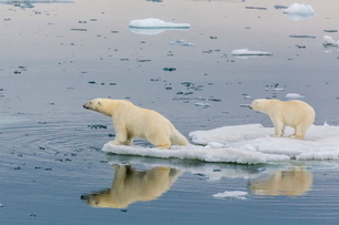 Mother polar bear with second year cub (Ursus maritimus) on ice in Olgastretet off Barentsoya, Svalbの写真素材 [FYI03769639]