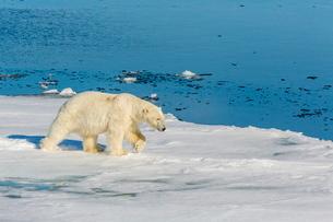 Young adult polar bear (Ursus maritimus) on ice in Hinlopen Strait, Svalbard, Norway, Scandinaivaの写真素材 [FYI03769642]