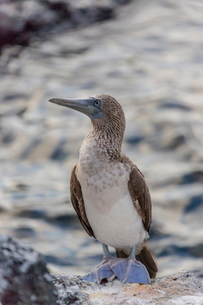 Blue-footed booby (Sula nebouxii) with purple feet at Puerto Egas, Santiago Island, Galapagos Islandの写真素材 [FYI03769818]