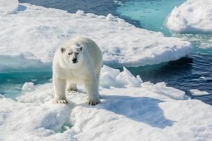 Curious polar bear (Ursus maritimus), Cumberland Peninsula, Baffin Island, Nunavutの写真素材 [FYI03769865]