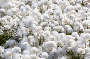 Arctic cotton grass (Eriophorum scheuchzeri) flowering in Sisimiut, Greenlandの写真素材 [FYI03769942]