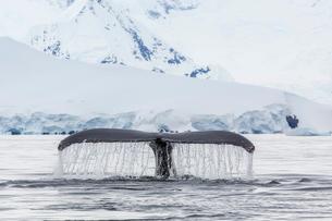 Humpback whale (Megaptera novaeangliae), flukes-up dive in the Enterprise Islands, Antarcticaの写真素材 [FYI03770027]
