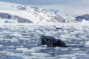 Humpback whale (Megaptera novaeangliae), adult spy-hopping in Cierva Cove, Antarcticaの写真素材 [FYI03770029]