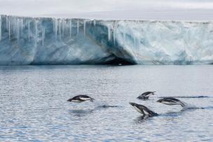 Porpoising adult Adelie penguins (Pygoscelis adeliae), Brown Bluff, Weddell Sea,  Antarcticaの写真素材 [FYI03770032]