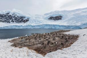 Gentoo penguin (Pygoscelis papua) breeding and nesting colony at Neko Harbour, Antarcticaの写真素材 [FYI03770038]