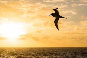 Adult light-mantled sooty albatross (Phoebetria palpebrata) in flight in the Drake Passage, Antarctiの写真素材 [FYI03770040]