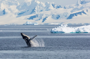Adult humpback whale (Megaptera novaeangliae) breaching in the Gerlache Strait, Antarcticaの写真素材 [FYI03770089]