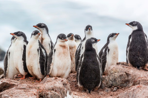 Gentoo penguin chicks (Pygoscelis papua), creching together, Mikkelsen Harbor, Trinity Island, Antarの写真素材 [FYI03770095]