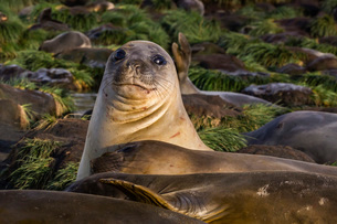 Female southern elephant seal (Mirounga leonina), in Gold Harbor, South Georgia Overseas Protectoratの写真素材 [FYI03770112]