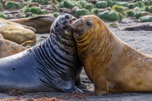 Southern elephant seal bulls (Mirounga leonina) mock-fighting in Gold Harbor, South Georgia Overseasの写真素材 [FYI03770116]