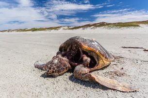 A dead loggerhead sea turtle (Caretta caretta) on the beach on Magdalena Island, Baja California Surの写真素材 [FYI03770130]