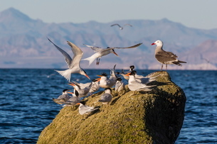 Breeding elegant terns (Thalasseus elegans) return to colony on Isla Rasa, Baja California Norte, Meの写真素材 [FYI03770152]