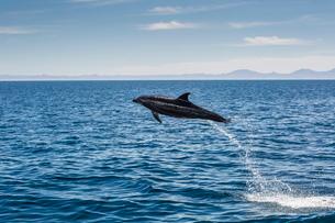 Adult bottlenose dolphin (Tursiops truncatus) leaping in the waters near Isla Danzante, Baja Califorの写真素材 [FYI03770158]