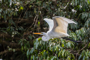 An adult eastern great egret (Ardea alba) in flight on the Daintree River, Daintree rain forest, Queの写真素材 [FYI03770160]