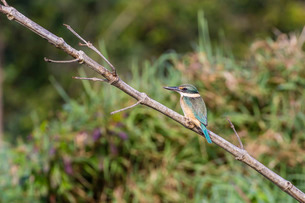 An adult sacred kingfisher (Todiramphus sanctus) on the Daintree River, Daintree rain forest, Queensの写真素材 [FYI03770165]
