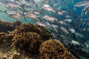 A school of bigeye trevally (Caranx sexfasciatus), Sebayur Island, Komodo Island National Park, Indoの写真素材 [FYI03770188]