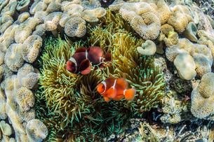 A pair of spinecheek anemonefish (Premnas biaculeatus), Sebayur Island, Komodo Island National Park,の写真素材 [FYI03770197]
