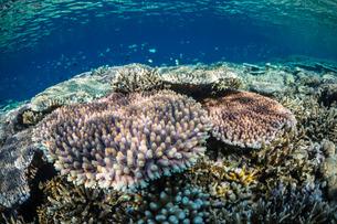 Hard and soft corals and reef fish underwater on Sebayur Island, Komodo Island National Park, Indoneの写真素材 [FYI03770209]
