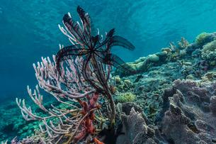 Hard and soft corals and crinoid underwater on Sebayur Island, Komodo Island National Park, Indonesiの写真素材 [FYI03770211]