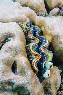 A profusion of hard and soft coral with a giant clam underwater on Tengah Besar Island, Komodo Islanの写真素材 [FYI03770213]