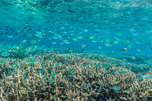 Hard and soft corals and reef fish underwater on Sebayur Island, Komodo Island National Park, Indoneの写真素材 [FYI03770227]