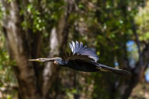 An Australian darter (Anhinga novaehollandiae) in flight on the Ord River, Kimberley, Western Austraの写真素材 [FYI03770267]