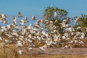 Adult little corellas (Cacatua sanguinea) in flight in Wyndham, Kimberley, Western Australiaの写真素材 [FYI03770279]